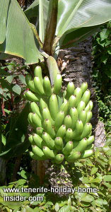 Ripe bananas on a stem