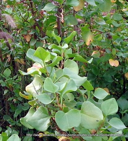 Rumex Lunaria Paradella Canaria of volcanic habitat