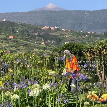 San Antonio La Orotava Teide view from a breathtakingly beautiful park under maintenance by the roadside TF324 and traffic circle