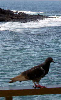 Seagull at the beach of Los Silos of Tenerife.