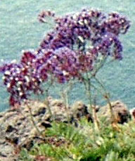 Sea lavender endemic Tenerife Lumbago plant