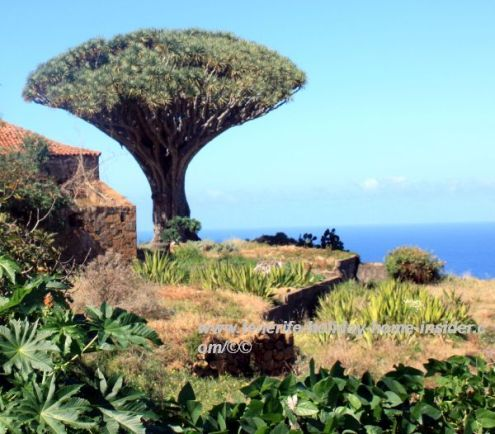 Drago Siete Fuentes Dragon tree of San Agustin
