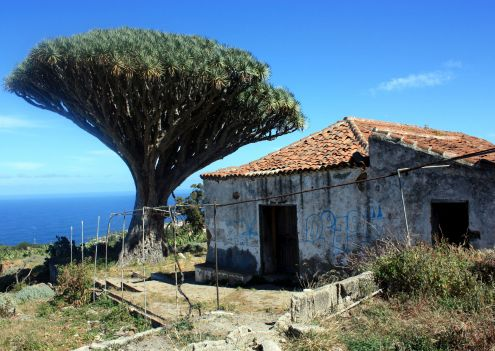 The legendary centuries old Siete Fuentes Dragon tree with abandoned hacienda from XVII by that name at San Agustin of Realejos.
