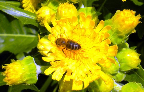 Sonchus arcaulis Dandelion endemic Tenerife plant