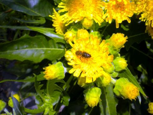 Sonchus flower cluster with bee.