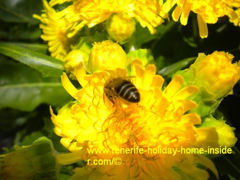 Sow Thistle with honey bee.
