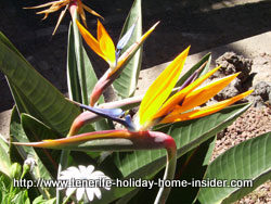 strelitzia endemic to South Africa