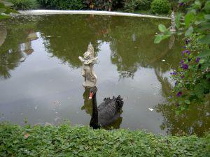 Black swan of Taoro Aquapark