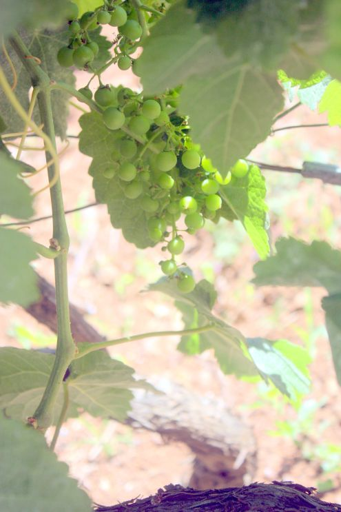 Tacoronte grapes growing near Plaza del Cristo.