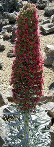 Tajinaste echineum wildpretii tenerife