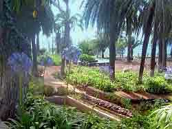 agapanthus taoro park puerto de la cruz tenerife