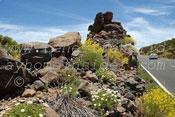 Teide daisy within natural rockery