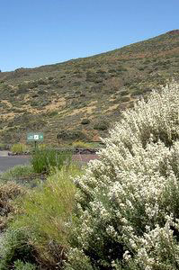 Teide white broom