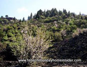 Tenerife almond blossoms in volcanic landscapes
