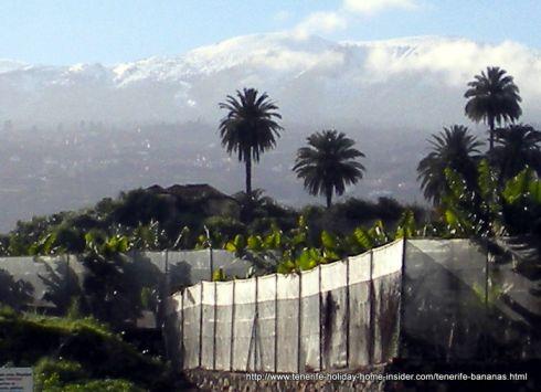 Tenerife banana plantation Toscal Longuera in Los Portreros by the Olympic stadium