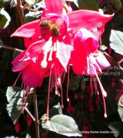 A Tenerife bee visits a Fuchsia in the healthy rural Orotava fair grounds