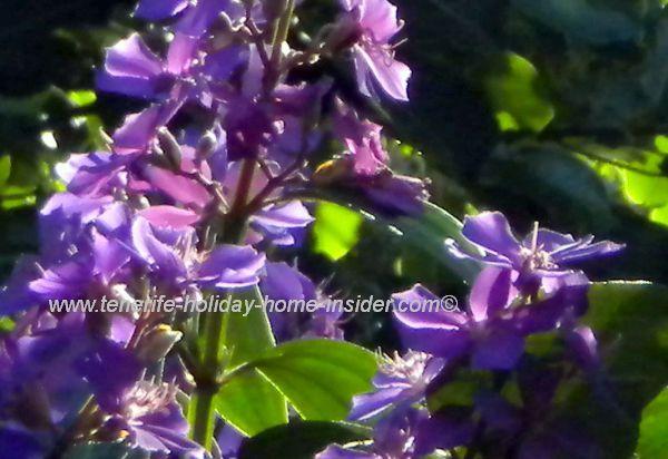 Tenerife Botanical Gardens Tibouchina Princess Glory bush tree growing to 12m