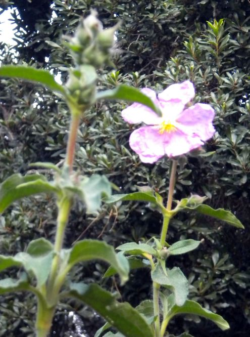 Tenerife endemic pink flower of Aguamansa.