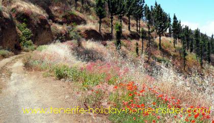 Tenerife flora of poppy seeds medicinal herbs