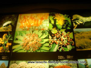 Tenerife flora of museum studies