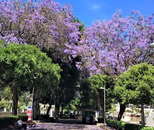 Tenerife in May of 2019 with La Rambla  Jacarandas. Click to learn more about this important Rambla