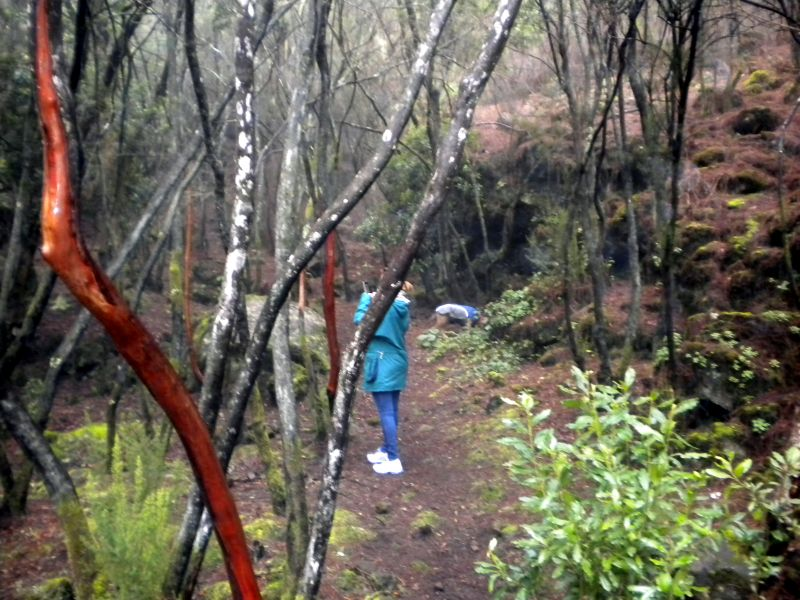 Tenerife nature la Orotava forest.