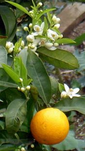 Tenerife orange tree with fruit and flowers at Acentejo.