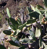 Tenerife Prickly Pear native plant