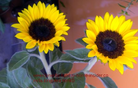 Tenerife sunflowers sold at Toscal Realejos Florist shop