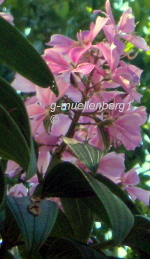 Pink Tibouchina tree originally from Brazil growing to about 12m high in Tenerife.