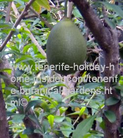 Totumo fruit with Totumo tree