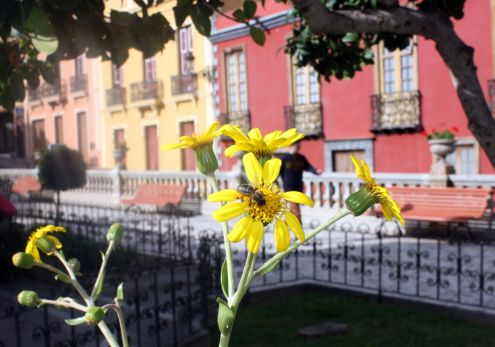 Town center of Realejo Bajo with uniformity of houses with bee visiting a flower.