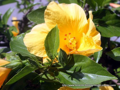 Tropical Hibiscus shrub with yellow bloom