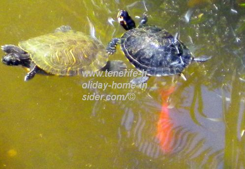 Two turtles in a pond with goldfish.