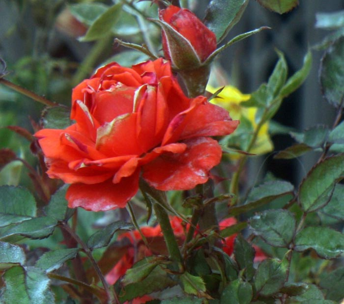 Unusual rose in red on bush with buds
