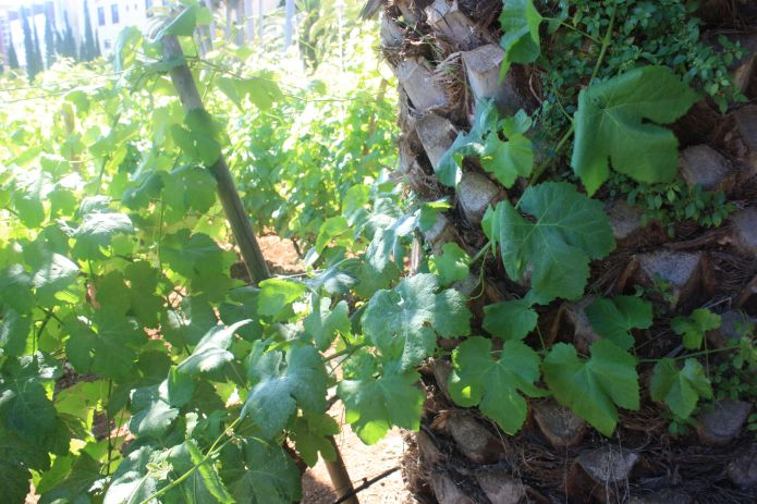 Vines grown in town-Click to see