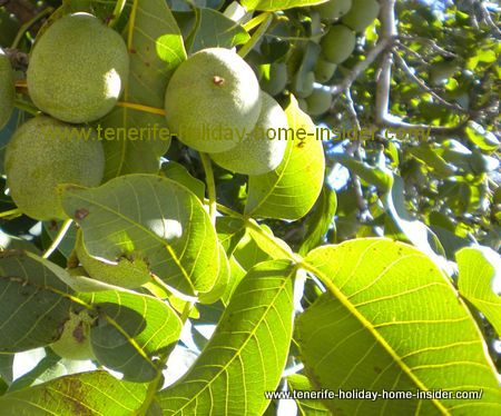Walnuts called Persian nuts or Juglans Regia between ethnographic houses