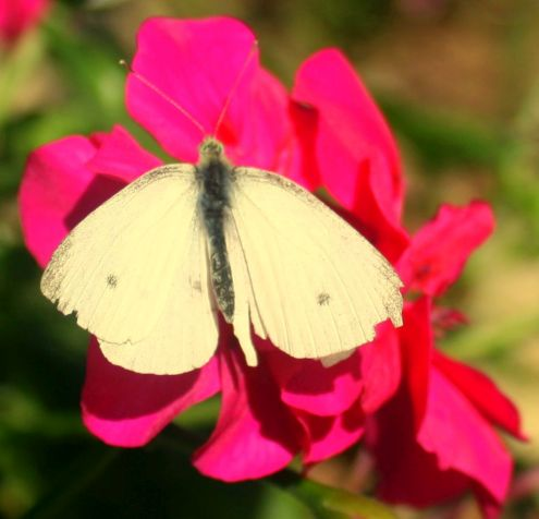 White butterfly in Avda Canarias in November 2017