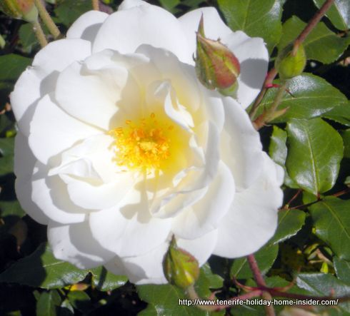 White rose on Avda.Canarias in June 2016