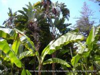 Tall wild banana plants at Botanical gardens Puerto Cruz