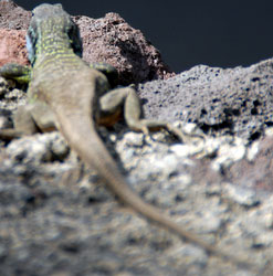 wildlife wall lizard in Tenerife