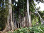 wish tree Jardin Botanico  Puerto Cruz Tenerife