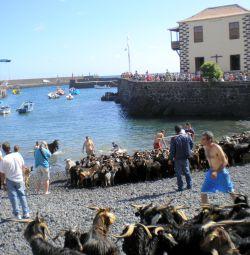 Why animal bathing of goats