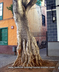 Baobab tree roots opposite Baobab restaurant of Tenerife capital