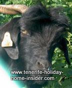 Impressive Head profile of black goat  Canary Island goat
