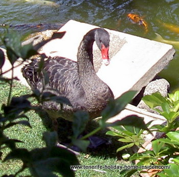 A black swan of Hotel Botanico Tenerife