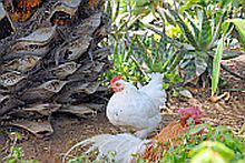 Chicken at Monasterio Park in Tenerife