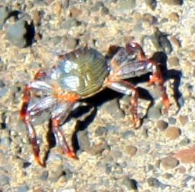 Crab or chameleon crab of Puerto de la Cruz.