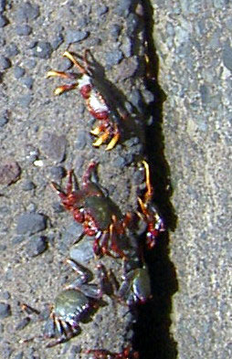 Crabs on a reef by a Muelle a Puerto de la Cruz quay on Tenerife Island.