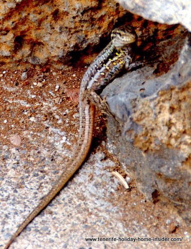 Freckled lizard of Tenerife
